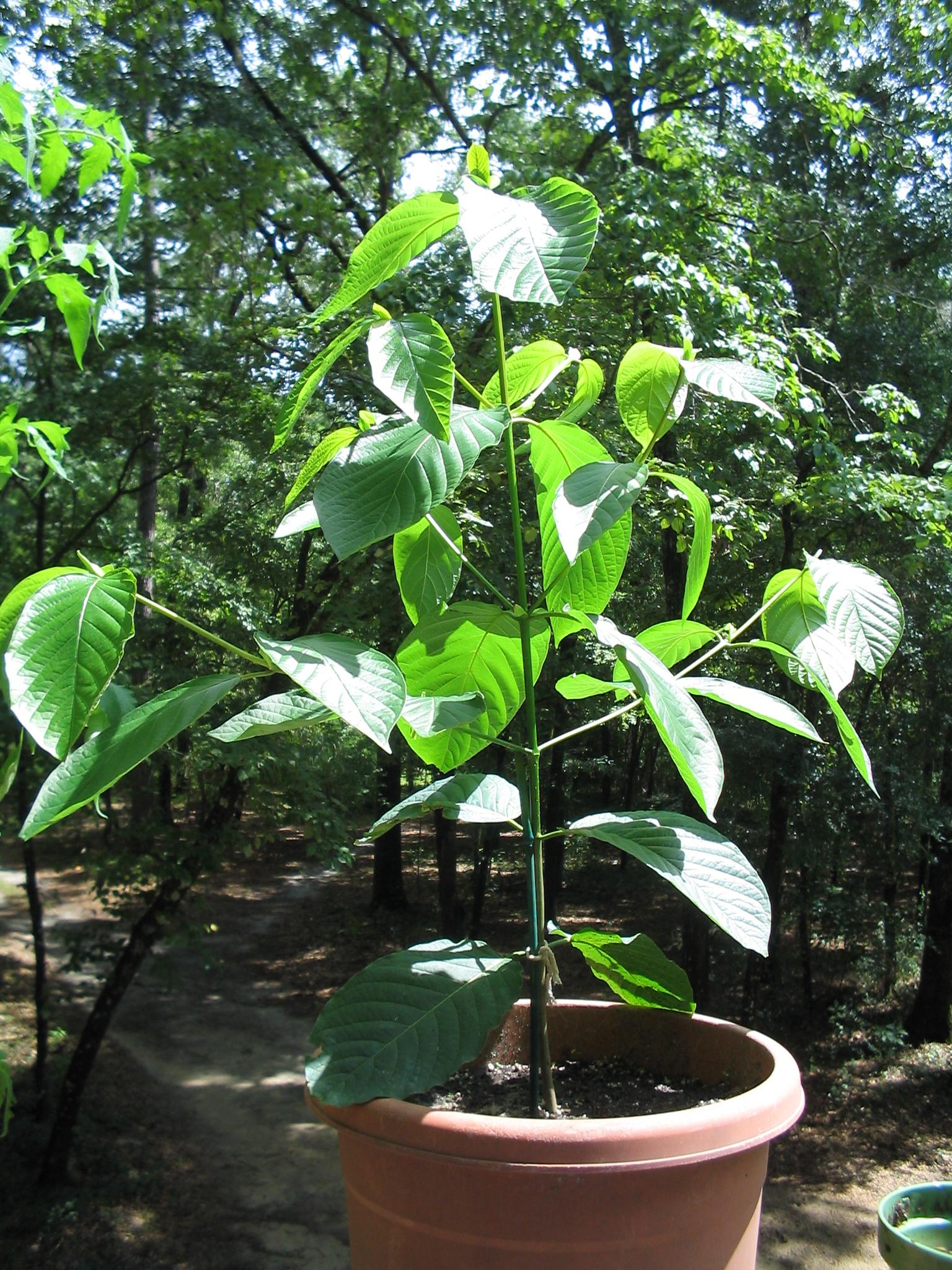 kratom plant in pot